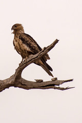 Whistling kite (crispiks) Tags: whistlingkite birdlife animals chiltern north east victoria bartleys block mount pilot national park nikon d500 200500 f56
