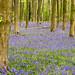 Bluebells in Micheldever Woods