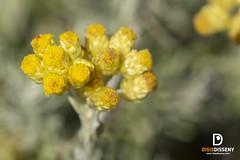 Macro (Jaume Costa) Tags: macro flores flors flowers closeup natura nature insectes insectos insects color vida catalunya capdecreus costabrava