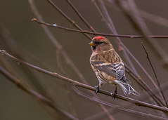 Common Redpoll ( Carduelis flammea ) Male (Dale Ayres) Tags: common redpoll carduelis flammes male bird nature wildlife