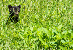 DSC_5072 (TDog54Photography / TCS Photography) Tags: black bear bears smoky mountains tennessee cades cove wildlife wild life animal american north america ursus americanus animals forest national park great cubs cub