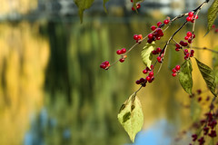 Red berries in autumn sun... (Journey CPL) Tags: china beijing berry berries autumn sun sunshine lake garden water winter asia fall clear sky blue leaf reflection red fruit