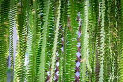Fern curtain (amunoztico) Tags: 2019 camera canoneosr casa creativo events flores macro poraño variadas plants plantas cortina fern helechos