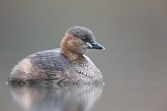 Little grebe (Mike Mckenzie8) Tags: tachybaptus ruficollis wild wildlife bird lake uk