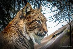Lynx (JKmedia) Tags: looking lynx wildlife bigcat zoo newquay captivity animal nature eyes tufted ears naturesfinest n15c flickrbigcats newquayzoo boultonphotography 2019 profile