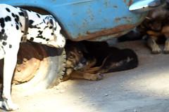 P8298026 (Бесплатный фотобанк) Tags: россия камчатка камчатскийкрай дворняжка дворняжки бездомныйпес бездомныесобаки бездомныепсы бездомнаясобака собака пес