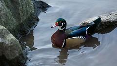 Wood Duck (Drake) (mausgabe) Tags: olympus em1 olympusm40150mmf28 olympusmc14 nyc centralpark thepond duck male drake woodduck