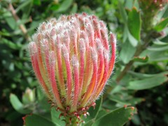 Pincushion Protea (Leucospermum) (kenjet) Tags: leucospermum pincushion protea pincushionprotea flower blooming bloom blume blumen flora shrub green leaves budding