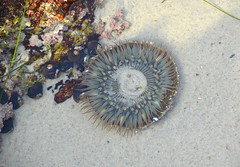 DSC_0574_2 (afagen) Tags: california pacificgrove asilomarstatebeach montereypeninsula asilomar beach pacificocean ocean tidepool giantgreenanemones anemone