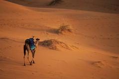 Follow your instinct (Miguel Castrillo Melguizo) Tags: camel desert dromedario sahara arena sand dunas dunes morning merzouga morocco marruecos sunrise desierto saharan animal adventure explore travel africa nikon d3200 dslr nature wild footprints