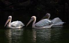 DSC_0266 (mkumar.photographer001) Tags: pelicansbird