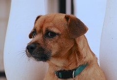 Mal Caracter, que tiene Tomy.- (angelalonso4) Tags: canon eos 7d mark ii 70300mm ƒ80 1830 mm 1320 320 orange eyes retrato perro fiera birichino animal portrait capture
