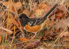 Spotted Towhee (Lindell Dillon) Tags: spottedtowhee bird birding nature oklahoma wildoklahoma normanok