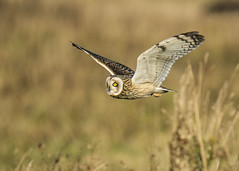 Short Eared Owl (Yvonne Alderson) Tags: short eared owl daylight autumn hunting bird raptor yvonne yvonnealderson nikon