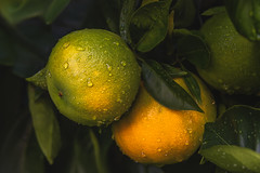 Oranges (Hanna Tor) Tags: food fruit rain garden farmers market tasty healthy water drop leaves orange citron citrus colorful texture organic eating sweet vitamin hannator