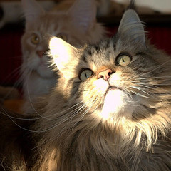 Maine Coon in shadows (Tony Worrall) Tags: cat feline furry pet shadows beauty nice pretty pets mainecoon pedigree fur animal beast inside keep kept buy sell sale bought item stock forsale stare eyes color colour cats catseyes natural moggy chat pussy puss brown longhaired ilobsterit instagram