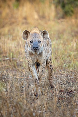 Scavenger Stare-down... (DTT67) Tags: nature wildlife canon 5dmkiv 500mm africa animal scavenger mammal hyena