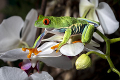 FROG RED EYES Agalychnis callidryas (photojordi®) Tags: frog red eyes rana ojos rojos photojordi agalychnis callidryas