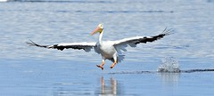 In for a landing (dina j) Tags: florida floridawildlife wildlife bird floridabird pelican whitepelican nature outdoors fortdesoto migration fallmigration pinellascounty