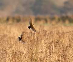 Two Meadow Pipits flying in the morning light (John A Harvey) Tags: birds burwellfen cambridgeshire england uk
