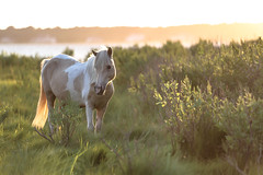 Palomino Paint at Sunset by Cynthia Herrick (Maryland DNR) Tags: 2018 photocontest wildlife mammals ponies horses assateague sunset