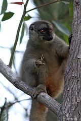 Lémur fauve (1796) / Eulemur fulvous / Common Brown Lemur (Laval Roy off until 03/27/2019) Tags: madagascar lemur endémique berenty andasibe lémuridés commonbrownlemur eulemurfulvous lémurfauve lavalroy comportement senourrissant
