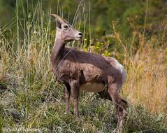 Bighorn Sheep in Sinclair Canyon (Randy Sellet) Tags: bighorn sheep horns northamerican canada canadianrockies britishcolumbia rockymountains wildlife mammal kootenay nationalpark sinclaircanyon west western randallhawleysellet selletphotography randallhsellet