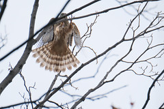DSCF6548 (jojotaikoyaro) Tags: bird animal nature wildlife suginami tokyo japan fujifilm xh1 xf100400mm