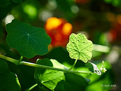 181014-01-web (Brenda-Gaudi) Tags: herbst botanik pflanzen kapuzinerkresse kräuter blatt garten germany