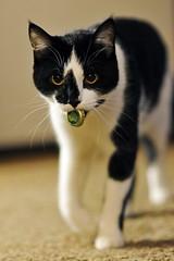 Cat that can Fetch (Kirby Wright) Tags: cat tuxedo black white bottle cap fetch bokeh nikon d700 85mm f14 pet friend fur whiskers depth field new glarus brewery beer spotted cow eyes ears
