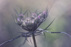 You spin me right round (charhedman) Tags: umbellifer queenanneslace flower macro bokeh memoriesofsummer purple green huw umbellifersunlimited