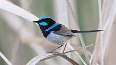 Superb Fairywren - male (Malurus cyaneus) (Gavin Edmondstone) Tags: maluruscyaneus bird australia lakewallace superbfairywren
