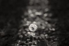 Dandelion (Picocoon图茧) Tags: dandelion autumn plant seed nature fall portrait sunlight