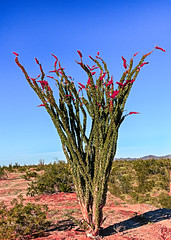 Beautiful Blooming Ocotillo (http://fineartamerica.com/profiles/robert-bales.ht) Tags: arizona fineart flickr foothills haybales ocotillo people photo photouploads places plants states fouquieriasplendensengelm desert southwesternunitedstates mexico desertcoral coachwhip jacobsstaff vinecactus sonorandesert spiny deadsticks green redflowers crimsonflowers sensational spectacular awesome magnificent peaceful surreal sublime magical spiritual inspiring inspirational robertbales canonshooter anzaborrego arid scenic wow stupendous superb tranquil mountain desertvegetation vignette