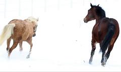 Amirosso Grosso (Amir Guso) Tags: gallopinghorses galoppierendepferde galpokonja horse pferde reiten wildpferde wild horses dzikie konie лошади коні 野生の馬 chevaux jesen herbst trava novembar divljina zdrijebe hengst stute wildnis wilderness désert пустыня fohlen жеребенок poulain foal stallion étalon pâturage pašnjak pasture weide nevada texsas pferdereiten ridehorses ridingwildhorses wildepferdereiten galop herd herde gras tier baum feld