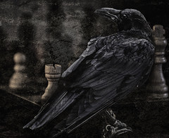 Rook to King Switch (Laura Drury) Tags: chess raven rook bird king game feathers