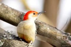 Red-bellied Woodpecker Male (Anne Ahearne) Tags: wild bird animal nature wildlife tree woodpecker redbelliedwoodpecker beautiful birdwatching