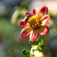 Summer colors... (.: mike   MKvip Beauty :.) Tags: sony⍺7markiii sony⍺7iii sonyilce7m3 sonyalpha7m3 ⍺7iii ilce7m3 sonyalpha sony alpha emount fe ibis sigmafe24mmƒ14dghsm a sigma art 24mmƒ14 closeup macro makro wideanglemacro handheld availablelight naturallight backlight backlighting shallowdof bokeh bokehlicious beyondbokeh extremebokeh smoothbokeh nature green flower animal insect bee summer karlsruhe germany europe mth mkvip sigmafe24mmƒ14dghsm art ngc npc