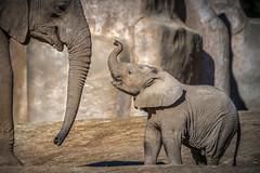 "Elephant Calf ""Zuli"" and Playmate (helenehoffman) Tags: elephant conservationstatusvulnerable africansavannaelephant sandiegozoosafaripark loxodontaafricana calf africanbushelephant mammal animal coth alittlebeauty specanimal coth5"
