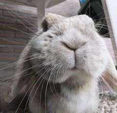 Ready for kisses (eveliensbunnypics) Tags: bunny rabbit lop lopeared polly face closeup whiskers