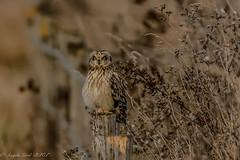 short eared owl (angelalord52) Tags: burwell seo owls