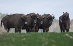 Żubry/European bisons #4 (mirosławkról) Tags: poland portrait wild animal mammal żubr european bison bonasus grass green