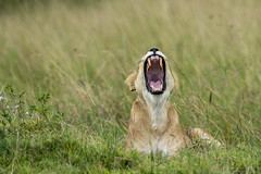 Big Cats on the Mara (johnrobjones) Tags: beyond animal animals cnp cnpsafaris kenya kichwatemba mara masai masaimara safari africa mammals nature wildlife lion lioness yawn