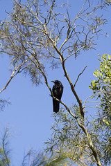 crow or raven? (louisa_catlover) Tags: maranoa maranoagardens garden park nature outdoor afternoon spring november balwyn melbourne victoria australia canon 60d 100mm macrolens bird wildlife corvid black
