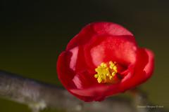 Red flower (Capturedbyhunter) Tags: naturepentaxcorucheweddings fernando caçador marques fajarda coruche ribatejo santarém portugal pentax k1 smc fa 100mm f28 macro pentaxfa100mmf28macro bokeh dof