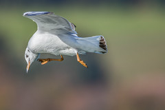 Scout (tom22_allgaeu) Tags: allgäu bühl deutschland europa immenstadt möwe tiere vögel bird sigma nikon d7200 freehand freihand