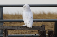 Snowy Owl  5140 (robenglish64) Tags: snowyowl