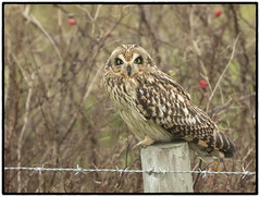 Short-eared Owl (CliveDodd) Tags: shorteared owl
