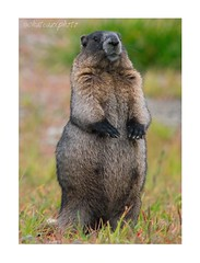 Hoary Marmot (jchateau1) Tags: marmot hoary animal animals mountain whistler nature wild wildlife