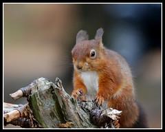 IMG_0047 Red Squirrel (Scotchjohnnie) Tags: redsquirrel sciurusvulgaris squirrel squirrelphotography rodent mammal wildlife wildanimal wildlifephotography wildandfree nature naturephotography canon canoneos canon7dmkii canonef100400f4556lisiiusm scotchjohnnie closeup portrait